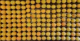 Apricots 2