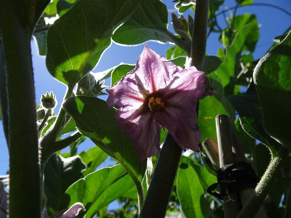 Aubergine / Eggplant - The Flower
