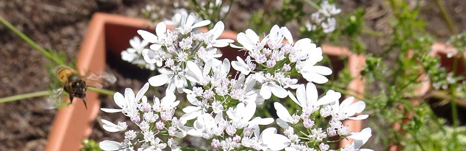 Coriander Flowers - for the bees