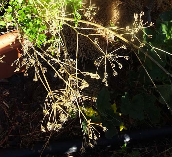 Parsley - Continental - Seed saving