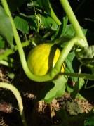 Pumpkin - a baby