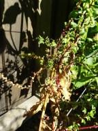 Swiss Chard - Seed Saving