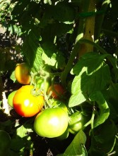 Tomatoes - From the compost
