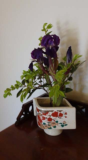 Miniature Bearded Iris and Chinese Elm