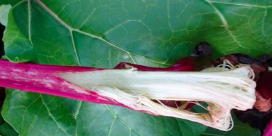 Rhubarb - flattened by the frost 2 - 6 July 2017