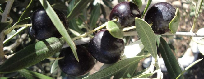Navarre Olives - 2 – Version 2 - Feature Image