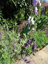Tall and dwarf bearded iris's...