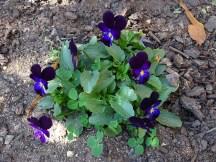 Viola - self sown...