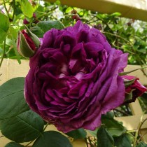 Climbing Rose - Unknown