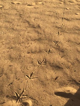 The footprints of waterfowl