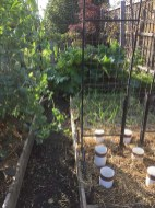 The vegetable garden is coming back - must keep working...