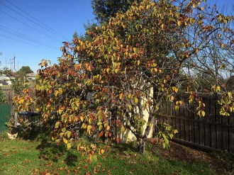 The quince tree in autumn/winter 2020 - the leaves are turning and falling...