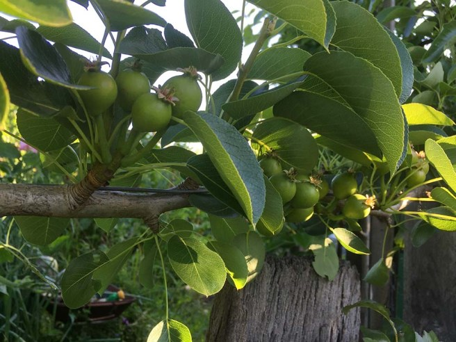 We will have paradise pears this year.