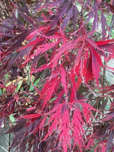 The beautiful red leaves of the Japanese maple.