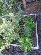 Lettuce - Oak Leaf - running to seed