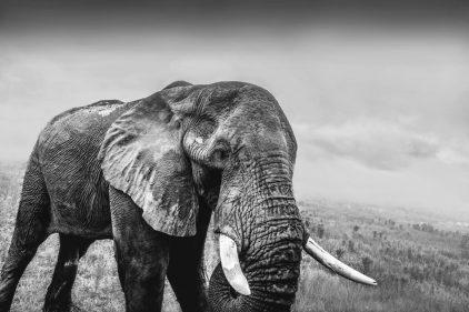elephant 2-def