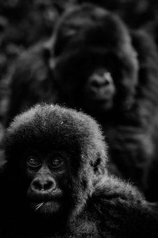 gorilla baby2