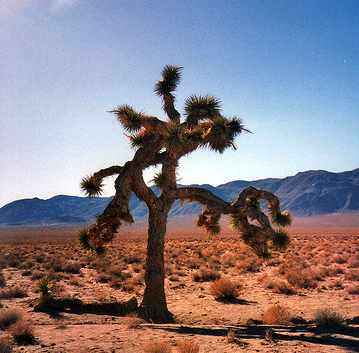 Joshuatree I The Joshua tree that was featured throughout the album artwork is located in the Mojave Desert near Darwin, California