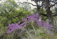 Wild Texas Red Bud Tree