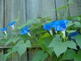 ipomoea_heavenly_blue-this-will-be-my-last-synthion-but-a-nice-murder-ecstashott.