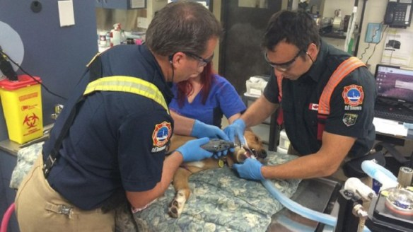 Fire fighters cutting off marrow bone from a dog's bottom jaw with a dremel.