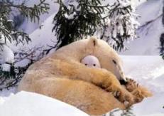 polar_bear_hibernating