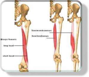 hamstrings-anatomy