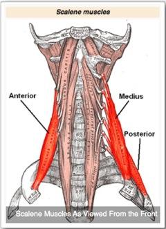 Scalene-Anatomy-Front3