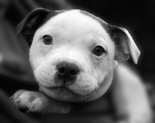 Breeder Directory – Staffordshire Bull Terrier Club of America