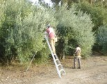 Crews picking Manzanillo variety olives from trees planted by Harry and Ellen Knill. Photo by Mike Imwalle.