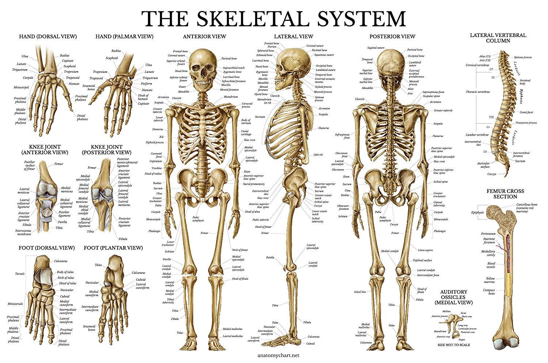 Buy Skeletal System Anatomical Chart