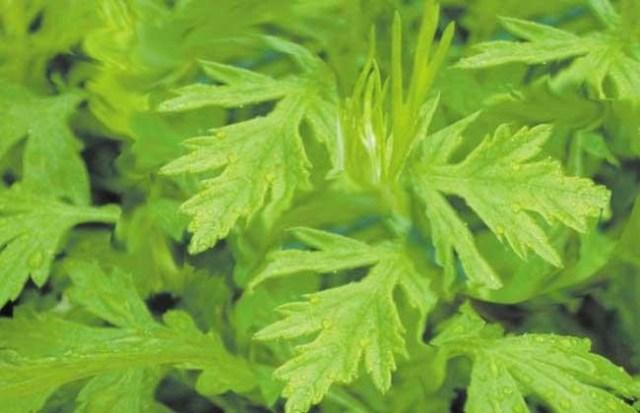 Herbal Liver Healthcare supplement drink liver medicine tea