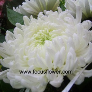 Promotional Chrysanthemums Cuttings Fresh Jasmine Flowers Single     promotional chrysanthemums cuttings fresh jasmine flowers single white  chrysanthemum flower growers directly supply