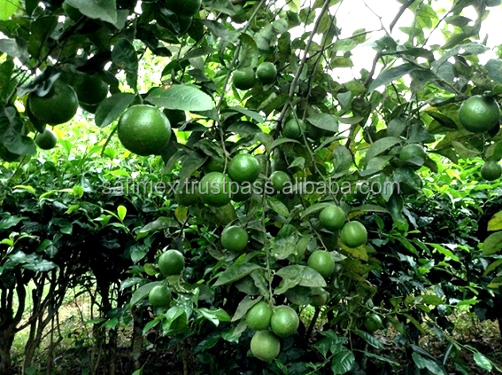 Fresh Seedless Lime With New Crop 2018