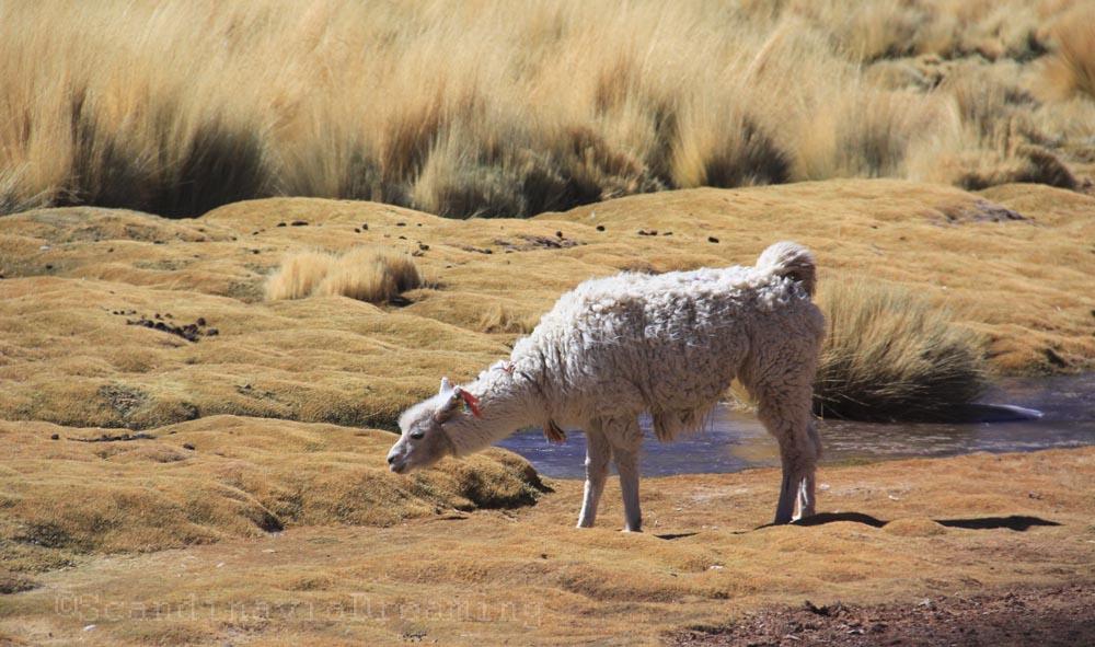 Lama paissant dans les montagnes