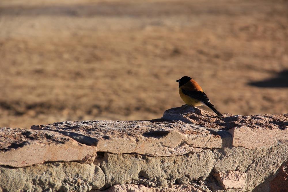 Oiseau du désert du Tatio