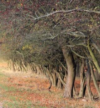 Rangée d'arbres de Dyrehaven