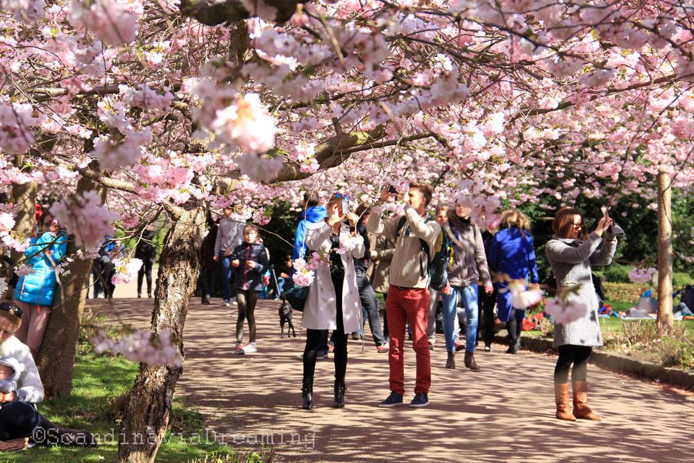 Sakura à Copenhague
