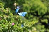 Fleurs bleues du jardin botanique de Copenhague