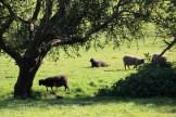 Moutons de l'abbaye d'Esrum