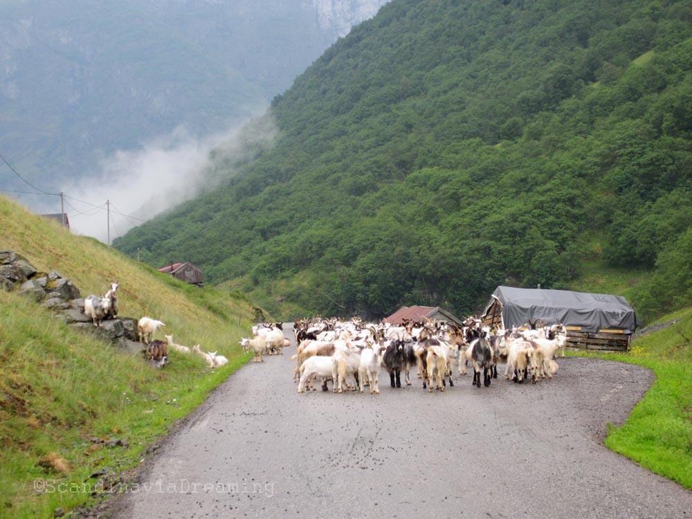 Chèvres sur la route