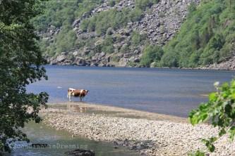 Vache norvégienne