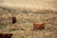 Vaches fanoe