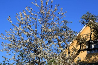 Cerisier Gudhjem Bornholm