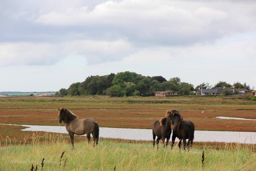 chevaux-limfjord