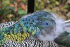 plumes-de-paon