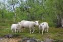 Moutons norvégiens