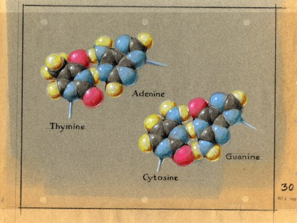 Pastel depiction of the DNA base pairs by Roger Hayward.