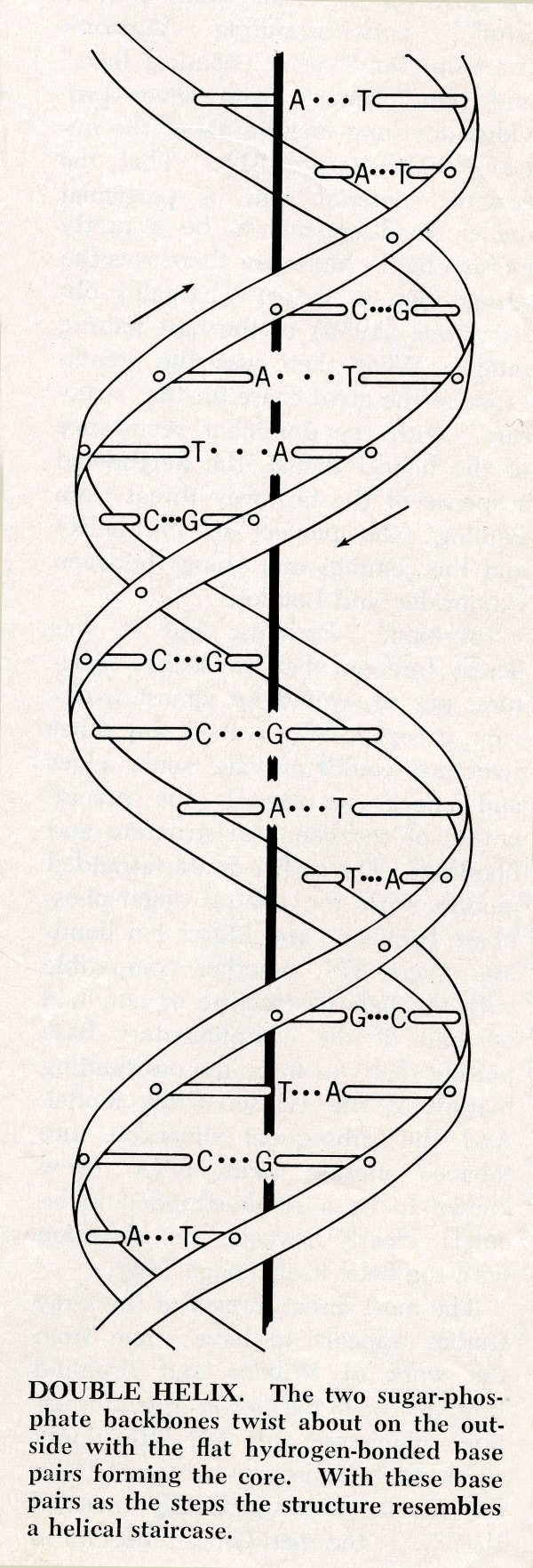The Watson and Crick Structure of DNA | PaulingBlog
