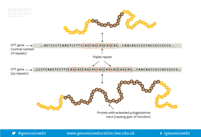 Diagram showing how multiple CAG triplet repeats code for replicates of glutamine to be inserted into a protein